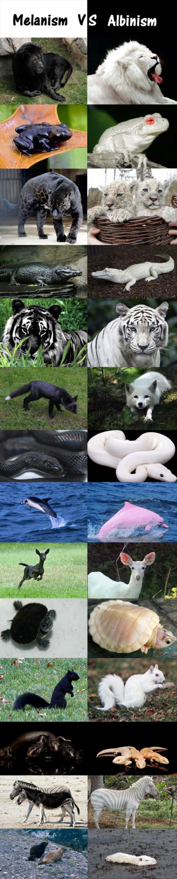 melanism-vs-albinism